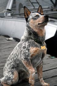 Blue Heeler  [I had a Blue Merle Australian Shepherd. Xander is on another plain now but this dog reminds me of him.]