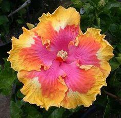 Tropical-Hibiscus-Seed-Path-x-T-Gabon