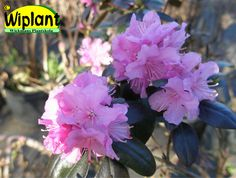 Rhododendron dauricum 'Kustavi', Azalea. Höjd: 1-1,2 m. Zon IV.