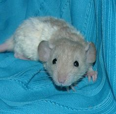 """""""Hooded rex dumbo rat.""""  I've had several hooded rats and two rexes, but I've yet to have a dumbo rat. The combo of all three is just too much cuteness!"""