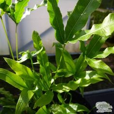 Buy Pteris Wallchiana in the UK Rhizome, Ferns, Plants, Foliage, Colorful Flowers, Plant Leaves, Types Of Soil, Loam, Mulch