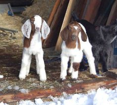 Baby Boer Goats