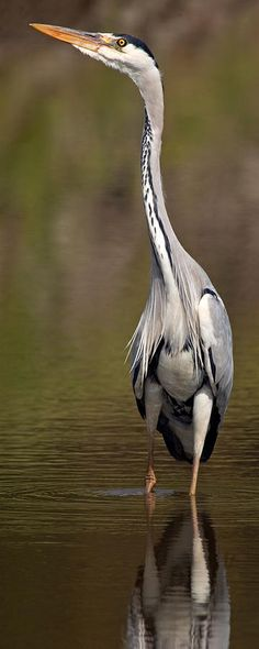 Side Profile Of A Grey Heron Ardea