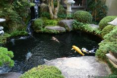 Great koi pond with waterfall.