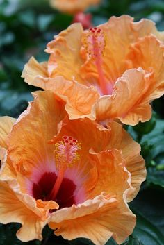 Orange Hibiscus.   I have pinned for the color.  I love how beautifully it contrasts with deep purple.