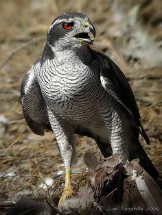 El azor común es una especie de ave accipitriforme de la familia Accipitridae. En España, su estado de conservación lo define como una especie de preocupación menor . Recibe también los nombres de azor septentrional, azor norteño y gavilán azor.El azor común es un ave especializada en la caza de ecosistemas arbóreos; sus alas resultan cortas para su tamaño, y tienen los extremos redondeados