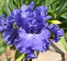 Photo of the bloom of Tall Bearded Iris (Iris 'Yaquina Blue') Iris Flowers, Colorful Flowers, Purple Flowers, Planting Flowers, Beautiful Flowers, Growing Irises, Dutch Iris, Iris Garden, Purple Iris