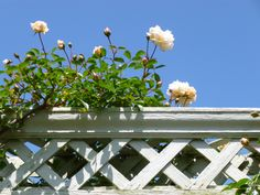 Beautiful Rosa 'Gardenia' on a pale grey painted wooden pergola (Bodnant Gardens)
