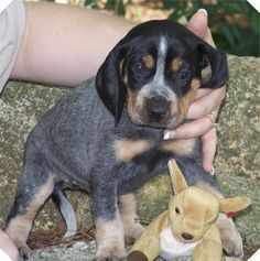 Blue Tick Coon Hound Puppy