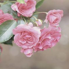 Galaxy Art, Beautiful Roses, Shrubs, Pink Roses, Perennials, Berries, Delicate, Kebaya, Plants