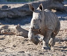Cute Baby Animals: Lowry Park Zoo White Rhino (saw April 11, 2014)