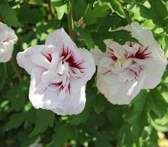 Hibiscus syriacus French Point-Ibisco