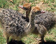 Baby ostrich pictures  #babyanimals #babyostrich #ostrich #cuteostrich #littleostrich #sweetostrich #ostrichphotos #babyostrichpictures