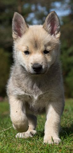 Norwegian Buhund Puppy