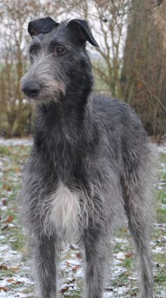 Scottish Deerhound...I will have one, one day<3