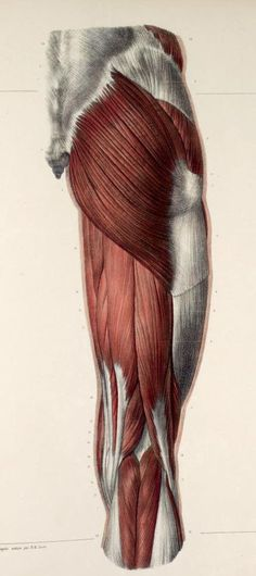 posterior view of the thigh muscles   #anatomy #medical #medicine #vintage #illustration