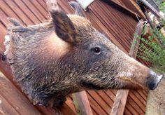 Antique mounted Wild Boar/Sanglier head