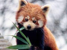 Le panda roux, petite peluche vivante