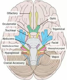 Cranial Nerves. To know as much as possible about the brain. Kinda like a brain expert although I'm not sure that will ever happen bc the God makes our brains so complex, and that's exactly why I love studying it!