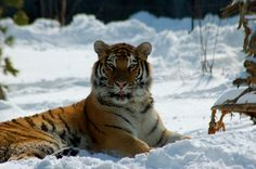 Tiger - Are you lookin at me? | Flickr