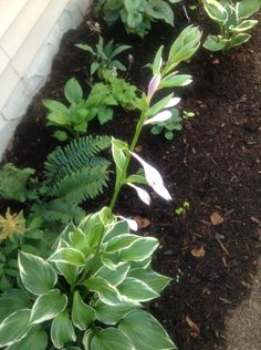 First hosta to flower 2016