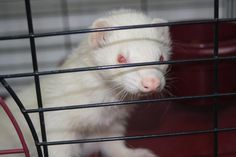 VIRGINIA ~ ID 33307 is a Neutered 1y/o adoptable male FERRET - he's a dazzling albino with white fur, pink eyes, nose & ears. Needs loving ferret savvy fur-ever home. He's wondering if you're the angel he's been waiting for. Adopt at the SHENANDOA VALLEY ANIMAL SERVICE CTR 1001 Mt Torey Rd #Lyndhurst VA 22952 Ph 540-943-5142  Adoption Fee: $25.00    http://shenandoah.animalshelternet.com/adoption_animal_details.cfm?AnimalUID=33307