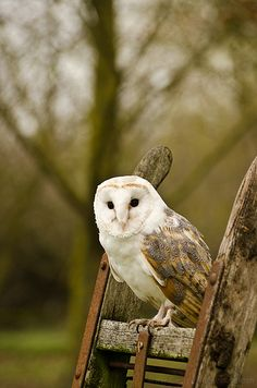 Posing Barn Owl ~~ Might find this guy living in the . . . barn.