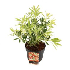 Rotsheide (Pieris japonica 'Flaming Silver') D 17 H 20 cm Pieris Japonica, 30th, Planter Pots, Silver, Products, Gadget, Money