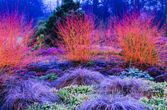 Adrian Bloom's garden in Norfolk, England, captures both the possibilities and repose of a winter garden. Silver birches, grasses, conifers and a blaze of Cornus sanguinea 'Midwinter Fire' carry the garden through the coldest months of the year.