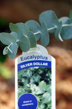 How to grow eucalyptus and How to make eucalyptus oil and save a ton of money. An easy essential oil DIY project. Eucalyptus Plant Indoor, Eucalyptus Oil, Little Gardens, Small Gardens, Raised Gardens, Modern Gardens, Homemade Essential Oils, Making Essential Oils, Landscape Design Small