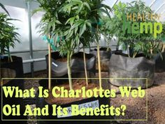 What Is Charlottes Web Oil And Its Benefits?