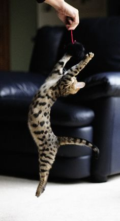 Savannah Cat Don't be surprised if your nimble savannah cat runs away to join the circus. - Spoil your kitty at www.coolcattreehouse.com