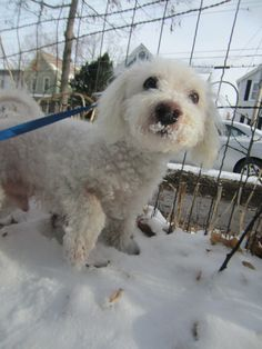 Max is an #adoptable #senior Bichon Frise with Poodle Rescue of Vermont in #EssexJunction, #Vermone ❥ ❥ ❥ I am eligible for PERMANENT FOSTER CARE.  I have been up for adoption for a long time.  Will you give me a home?  Poodle Rescue of Vermont will help.  If you will give me a loving home, Poodle Rescue of Vermont will provide the medical care,...