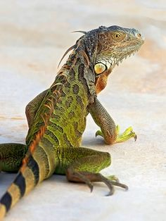 Green Iguana...The most beautiful of all!  I had one for 10 years..Best pet I have ever had.  I should have said companion.