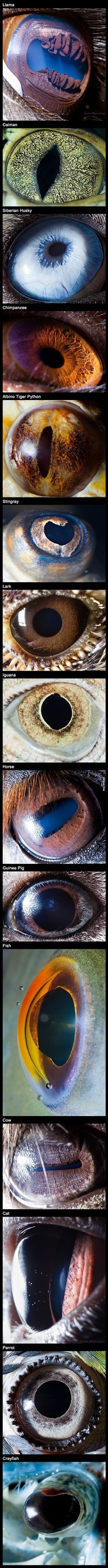 animals' eyes. Some have Synechia (broken iris; where the coloured part is broken) and it's unnatural; others have small pupils, others large.