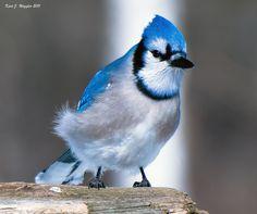 llbwwb:  Bluejay (by iamphotokrazy)