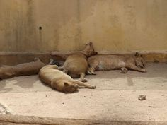 Nap time 4 - Lionesses