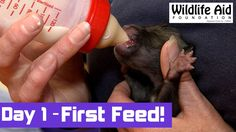 Day 1 - Lonely Girl - Cute FOX Cub's First Ever Feed by Human Hand!