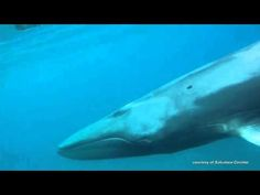 Mysterious Omura's Whale Filmed for the First Time : Discovery News