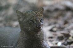 Os jaguarundis habitam sobretudo planícies de florestas tropicais úmidas, onde, apesar de serem trepadores e saltadores habilidosos, passam a maior parte do tempo no chão. Uma cobertura vegetal baixa e densa é essencial em seu habitat preferencial, pois abriga sua dieta regular de de roedores e outros pequenos mamíferos, bem como aves, répteis e insetos. Também habitam matos baixos e florestas espinhosas, estepes e florestas de galeria.