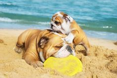 ☀#Bulldogs at the Beach☀