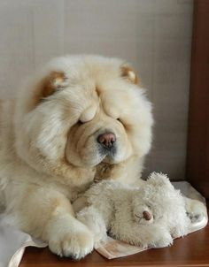 Chow Chow & his twin friend Big Fluffy Dogs, Big Dogs, Cute Baby Dogs, Cute Dogs And Puppies, Doggies, Cute Little Animals, Cute Funny Animals, Perros Chow Chow, Best Dog Breeds