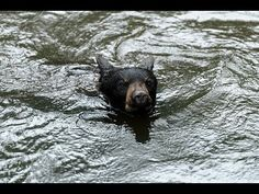Out There Global video of the week features these black bear cubs swimming and squawking, just in case you ever wondered what a baby bear sounds like. Black Bear Cub, Grain Of Sand, Perfect People, Bear Cubs, Sounds Like, Beautiful Creatures, Just In Case, Shit Happens, Animals