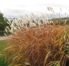 4 GRAMINÉES HAUTES magnifiques au jardin ! 🌾 Miscanthus Sinensis Gracillimus, Herbs, Spa, Gardens, Landscaping Around Pool, Backyard Farming, Herb, Medicinal Plants