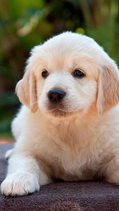 Golden Retrievers are one of the most honest dog breeds you'll ever encounter. Cute Dogs And Puppies, Baby Puppies, Baby Dogs, Pet Dogs, Pets, Shitzu Puppies, Puppy Goldendoodle, Funny Puppies, Samoyed Dogs