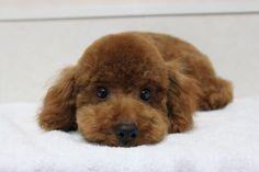 全ての犬種の中で一番かわいいのはトイプードルで間違いないよな?:ハムスター速報