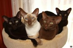 Havanna Brown, Cinnamon Point Siamese, Cinnamon Oriental and Havannna Puppies And Kitties, Cats And Kittens, Ragdoll Kittens, White Kittens, Black Cats, Pretty Cats, Beautiful Cats, Siamese Cats, Tabby Cats