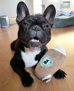 Ninja, the French Bulldog, @frenchie_ninja Instagram #buldog