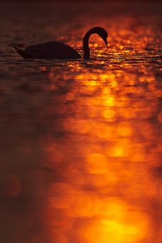 Mute swan in the last few minutes of the day by René Visser