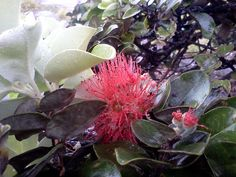 Things to do in ohia lehua flower during our visit to Hawaii Volcanoes National Park This was a good hike! Be prepared for rain if you go during winter season. Hawaii Volcanoes National Park, Volcano National Park, National Parks, Beautiful Sites, Beautiful Places To Visit, Places To See, Amazing Places, Vacations To Go, Vacation Trips